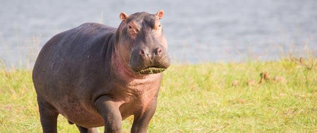 nijlpaard bij lake victoria tanzania
