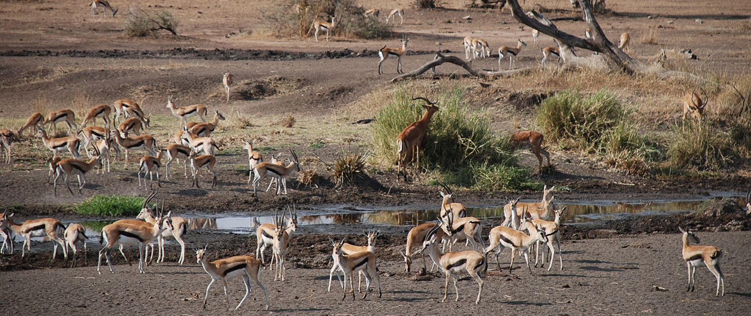 Serengeti Thomson Gazelles