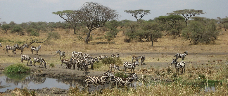 Serengeti Zebra