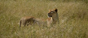 Lion Serengeti - Marinke van der Bend