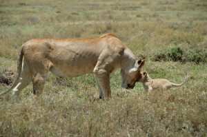 Lions Serengeti