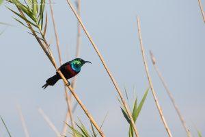 sunbird and wild life ngorongoro