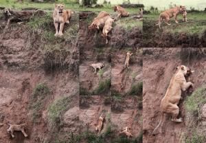 leeuw redt welp
