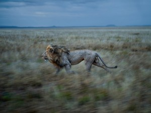 20-hildur-runs-to-simba-east-the short happy life of a serengeti lion