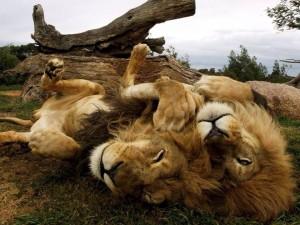 twee mannetjes leeuwen