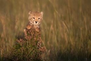 Cheetah Cub_Maasai Mara_Adri de Visser_Portraits_Kenya