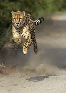 cheetah by unknown photographer