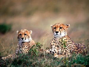 cheetah meditatie 2