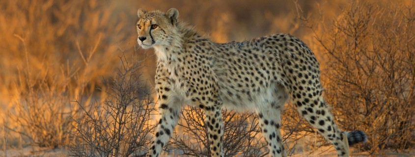 cheetah - kalahari desert South Africa by Morkel Erasmus