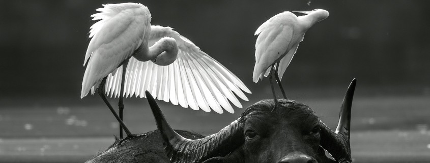 Buffel en oxpecker overleven samen