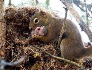 eekhoorn met pasgeborene