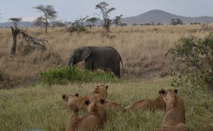 olifant en leeuwen