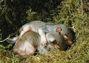 kwetsbare jonge grijze eekhoorns