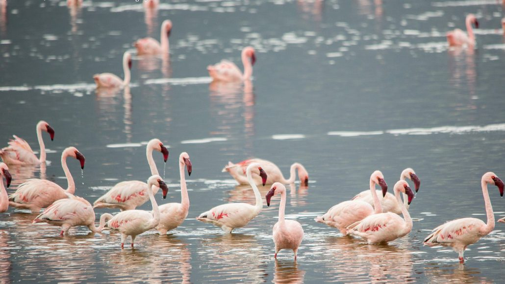 flamingos Lake Natron
