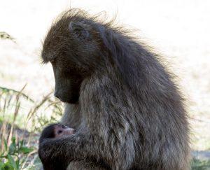 baviaan moeder koestert jong