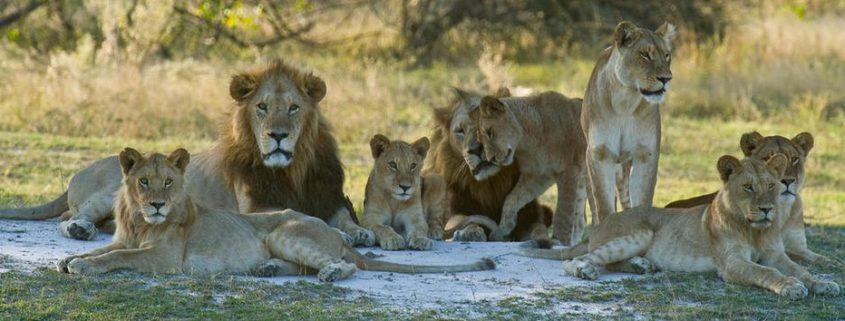 leeuw en zijn harem