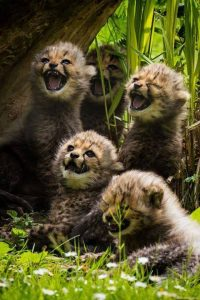 hongerige cheeta jongen