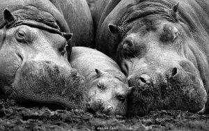 jong nijlpaard wordt beschermd