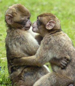 verliefde apen