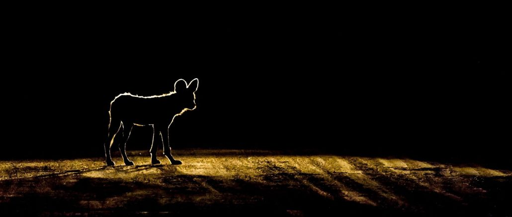 silhouette wilde hond