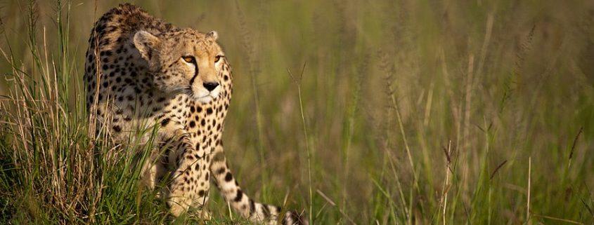 cheetah-maasai-mara-kenya-dots-by-adri-de-visser