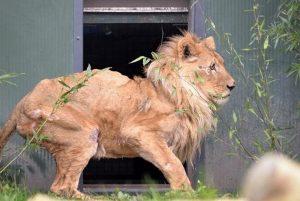 verwaarloosde leeuw