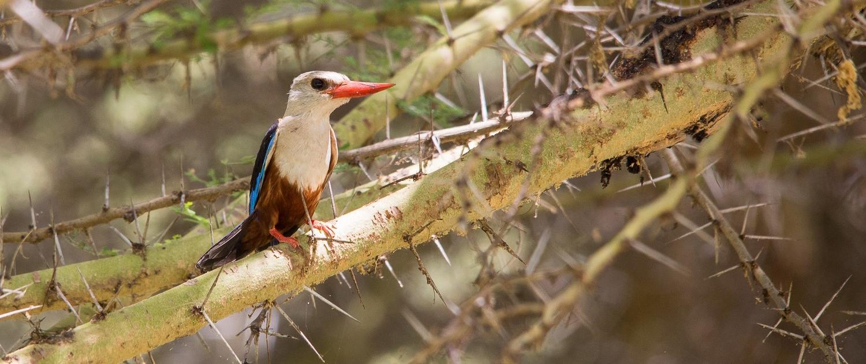 IJsvogel Tanzania