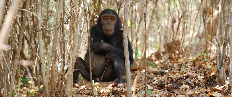 Chimpanzee Gombe