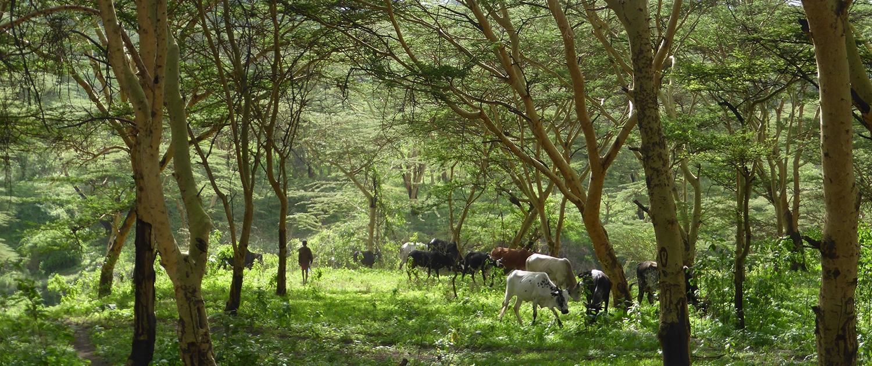Ngorongoro the sound of cow bells