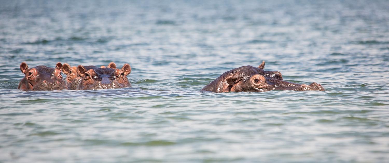 Rubondo Hippos