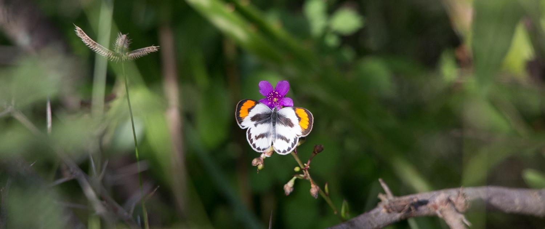Rubondo butterfly