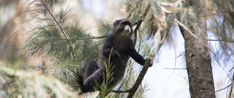 Rubondo monkey