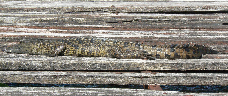 Crocodile Saanane Tanzania