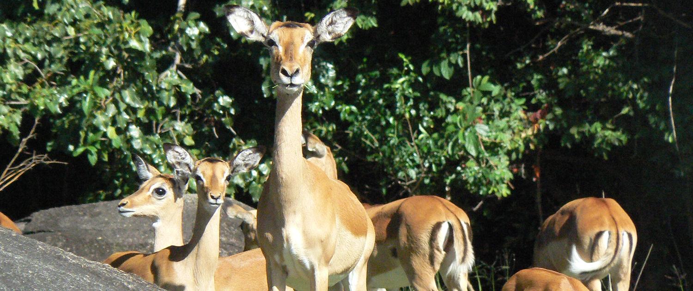 Impalas Saanane Tanzania