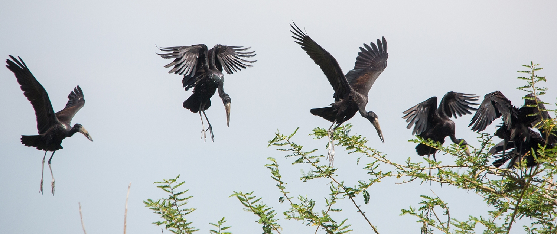 Ukerewe - African Openbill Storks