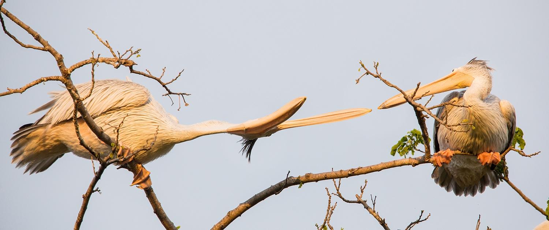 Ukerewe Pelicans