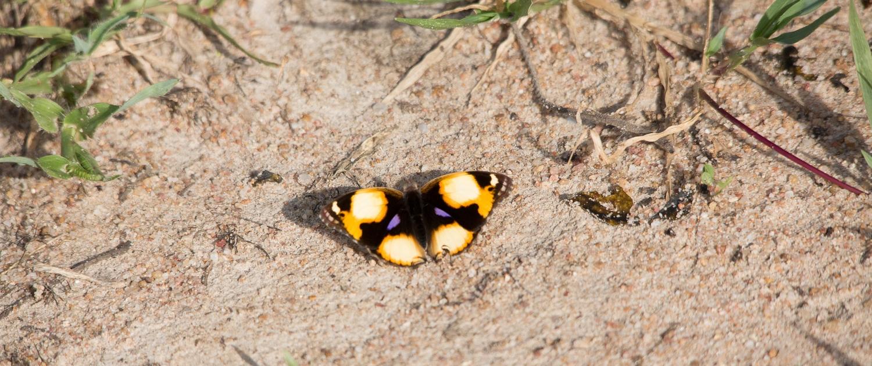 Ukerewe butterfly