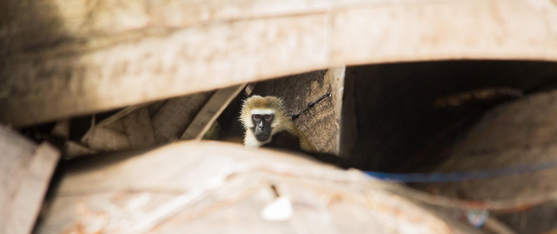 Ukerewe velvet monkey