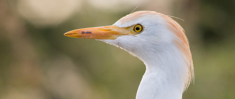 Ukerewe white egret