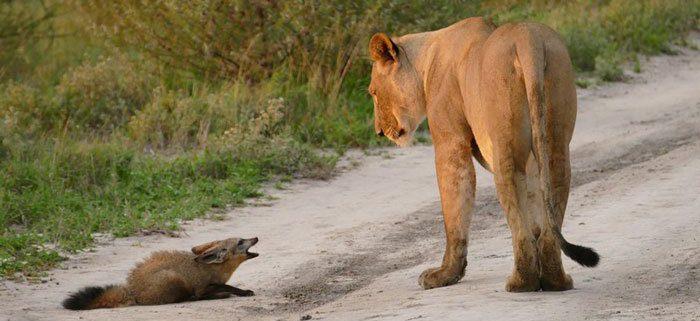 leeuwin luistert naar het verhaal