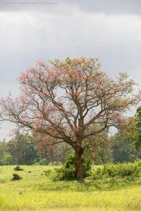 boom in bloei ngorongoro