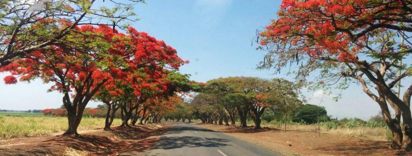 Jacaranda tree in Tanzania