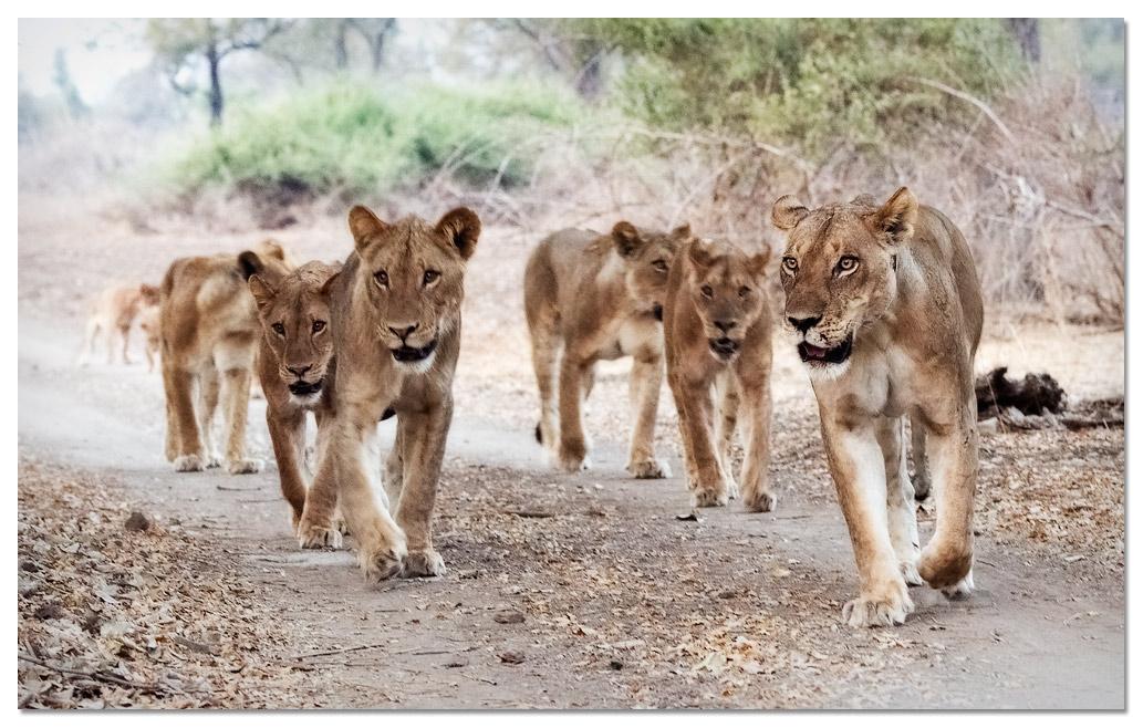 leeuwen op de weg