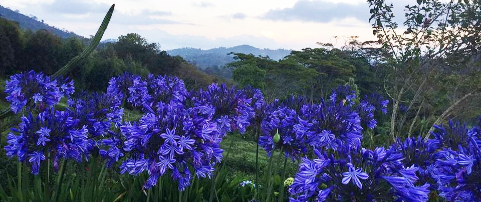 Usambara flowers