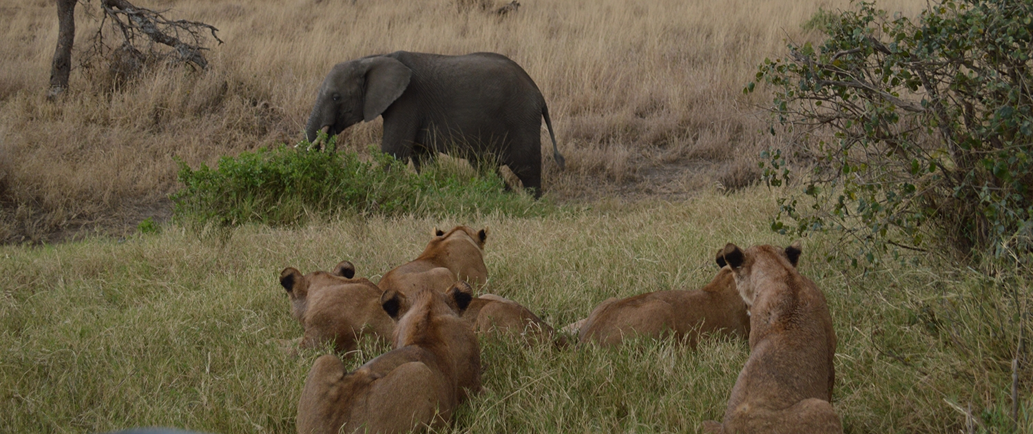 Serengeti Lions hunt Elephant