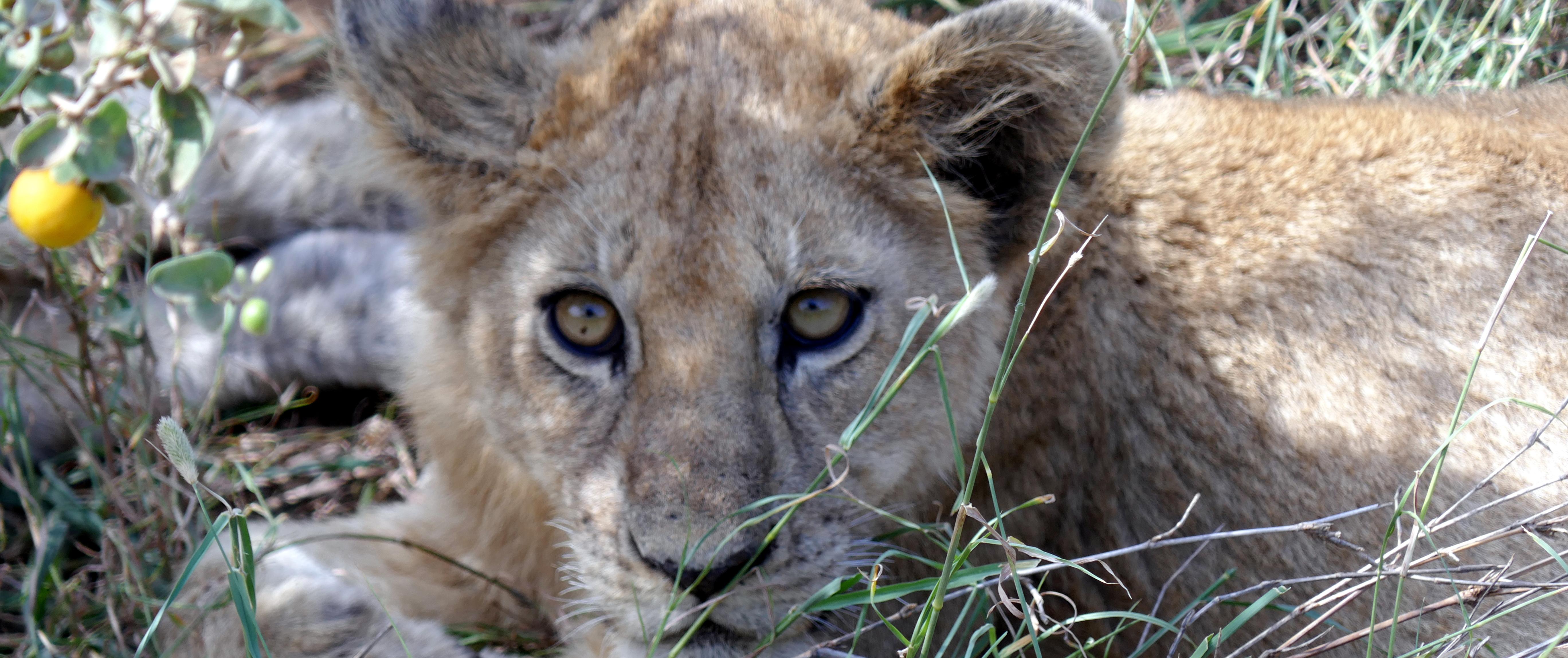 leeuwtje selous Tanzania