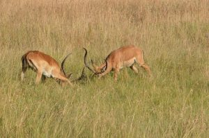 fighting in Serengeti
