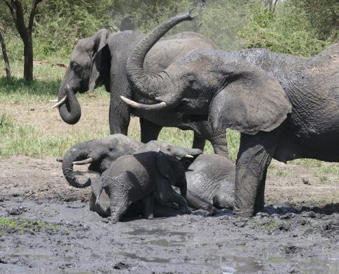 olifanten serengeti